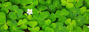 Green clover leaves background and white flower.